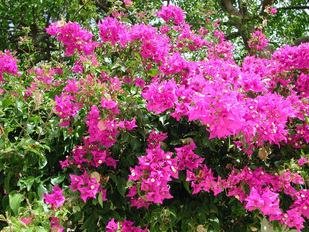 Flowers such as pink bougainvillea are common on Virgin Gorda, BVI.